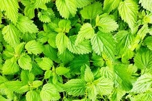Green Beautiful Young Krapis S...