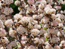 Physocarpus Opulifolius 'Diabolo' | Physocarpe à Feuilles D'obier Pourpre 'Diablo' Aux Grappes De Fleurs Blanc Rosé Au Bout De Tiges Rougeâtre