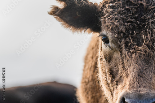 Photo Angus and murray grey cows grazing grass