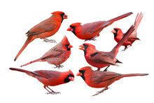 Seven Northern Cardinal Males ...