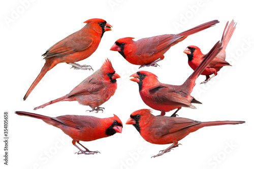 Seven Northern Cardinal Males Isolated on White Background Wallpaper Mural