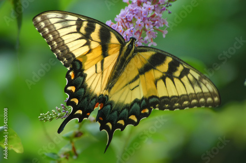 Eastern tiger swallowtail butterfly feeding on butterfly bush;   Maryland
