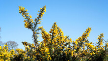 A Gorse Bush With Yellow Flowers Against A Bright Blue Sky