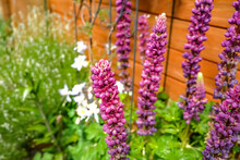 Close Up And Selective Focus On A Purple Foxglove (Digitalis Purpurea) Flowering In An English Country Garden