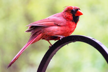 A Male Cardinal Perches On A S...