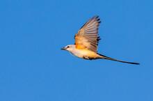 Scissor-tailed Flycatcher (Tyr...