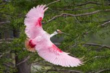 Roseate Spoonbill In Flight In...