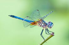 Macro Image Of Male Blue Dashe...