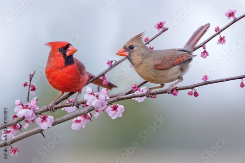 Slika na platnu Northern Cardinal Pair Perched in Blossoming Crab Apple Tree in Early Spring in
