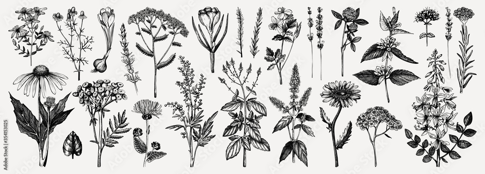 Fototapeta Medicinal herbs collection. Vector set of hand drawn summer florals, herbs, weeds and meadows. Vintage plants illustration. Botanical elements in engraved style. Wild flowers outlines set.