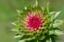 Spiny Prickly Musk Thistle Flower Plant On A Sunny Day