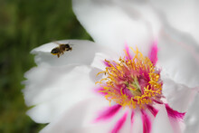 Tilt Shift Photography A Bee Flies Up To A Large White Flower.