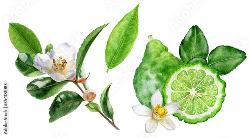 Obraz Tea leaves bergamot watercolor illustration isolated on white background - fototapety do salonu