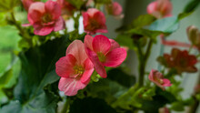 Vivid Magenta Begonia Flowers With Green Leaves. Blur Background. Macro Photo, Close Up