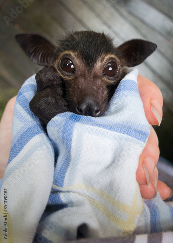 Fotomural Dobby is an orphaned Spectacled Flying Fox being cared for at a wildliife hospital in Kuranda, Queensland