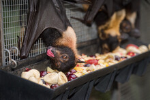 Spectacled Flying Foxes Tuckin...