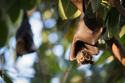 Cuadros en Lienzo Dobby is an orphaned Spectacled Flying Fox being cared for at a wildliife hospital in Kuranda, Queensland