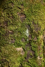 Thick Tree Trunk Close Up, Some Moss Growing