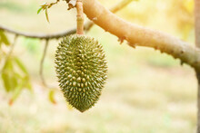 Durian Tree With Durian Fruit ...