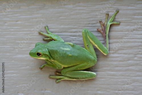 Valokuvatapetti Tree frog, frogs, dumpy frog sitting on wood