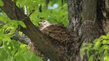 Straw Nest With Starling Bird ...
