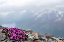 Purple Saxifrage Sits On The Slopes Of  Pepper Peak.