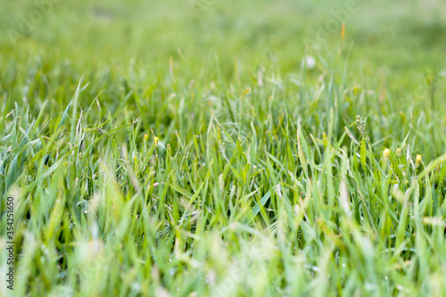 Fotomural Green grass. Background with grass. Lots of thin grass.