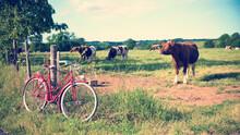 Vache En Campagne Et Vélo Vin...
