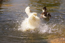 Duck Splashing Water. Duck In The Water. The White Duck Is Cleaning Itself.