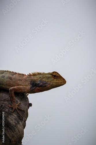 Photo Iguana in tree
