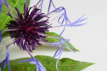 Studio Photo Closeup Of Purple Isolated Flower With Green Leaves, White Background - Squarrose Knapweed (centaurea Virgata Triumfettii)