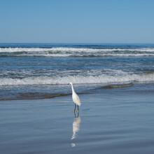 Great Egret Walking On The Beach In California