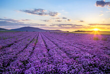 Rural Landscape With Field Of Purple Blooming Garlic On Sunset And Mount Sleza On Background, Lower Silesia, Poland