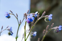 Summer Forget-me-Not Purple Flower Or Italian Bugloss