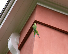 Parrot Resting On A Wall