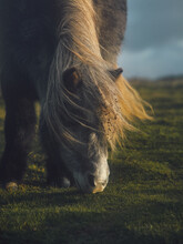 Pony Eating Grass