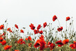 Blooming red poppies and sunny summer meadow