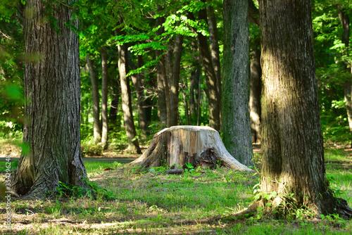 森の中の切り株 Fototapeta