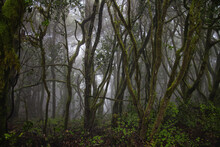 Laurel Forest. Humid Subtropical Forest. Laurisilva Of Garajonay.