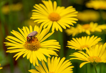 June Bug , The Cockchafer,is A Large Yellow Daisy.