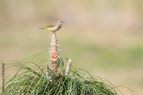 A Palm Warbler perches atop a cultivated Longleaf Pine at Brownie Wise Park in Osecola County, Florida Canvas Print