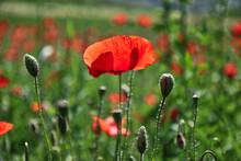 Primo Piano Di Fiori Di Papavero Di Un Rosso Acceso In Un Campo, Sotto La Luce Accecante Del Sole Splendente Di Inizio Estate