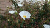 bialy kwiat w tle sciana