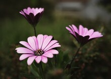 Closeup Shot Of Purple African Daisies In A Field Under The Sunlight With A Blurry Background
