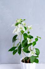 White Bougainvillea Flowers In White Flower Pot. Gray On Background