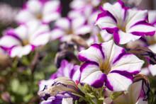 Some Beautiful Bright Two-tone White And Purple Petunias