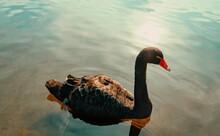 Isolated Black Swan Floating O...