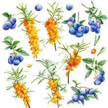 Berries, Blueberry, Sea Buckth...