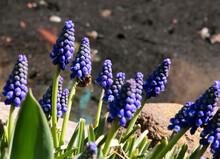 Muscari Armeniacum. Armenian Grape Hyacinth Blooms In The Early Spring Garden. Close-up