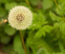 Dandelion Puff On Grass Background Close Up